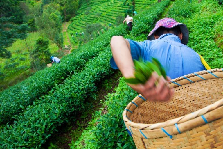 茶葉の生産者イメージ
