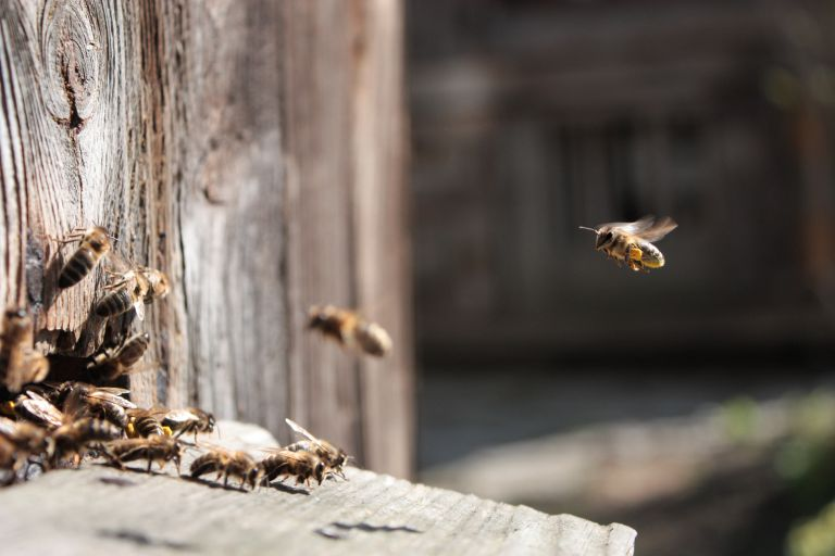 巣に戻るミツバチ